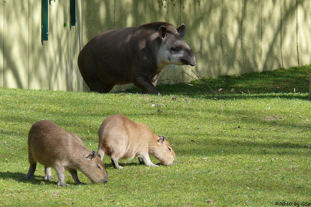 Flachlandtapir AILTON und Capybara mit 4 Monate alten Jungtieren