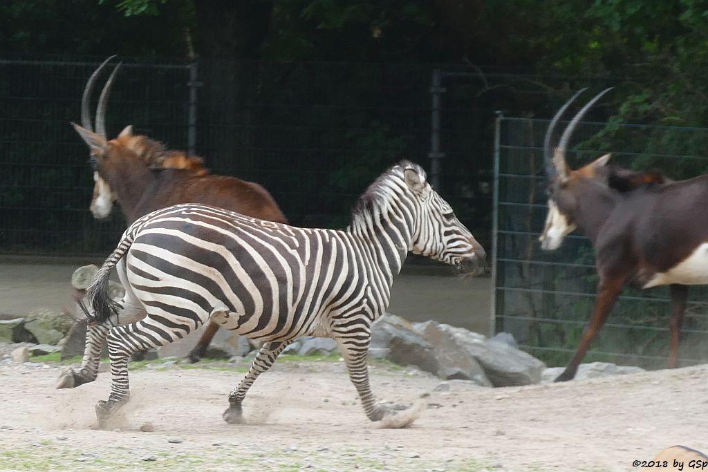 Böhm-Steppenzebra (Grant-Zebra), Südafrikanische Rappenantilope