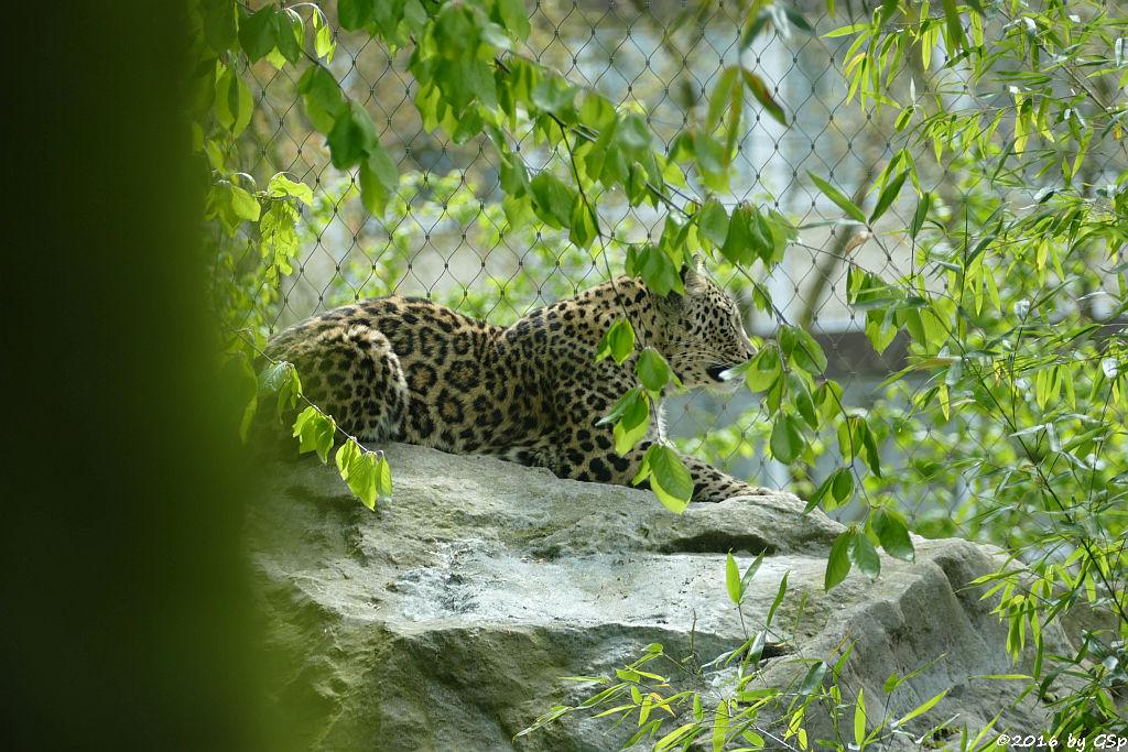 Nordpersische Leopardin (Afghanische Leopardin) AZISAM
