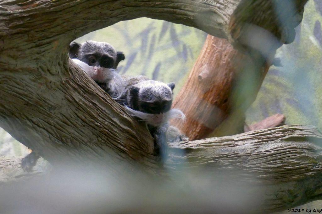 Rotschwänziger Kaiserschnurrbarttamarin