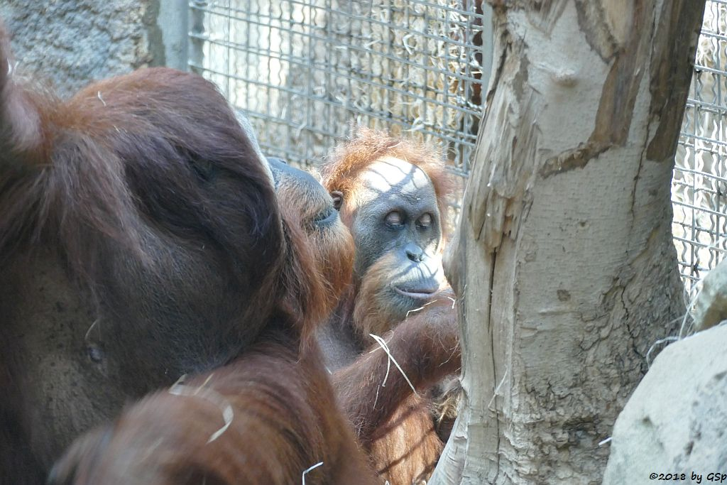 Sumatra-Orang-Utan KEMBALI und ROSA