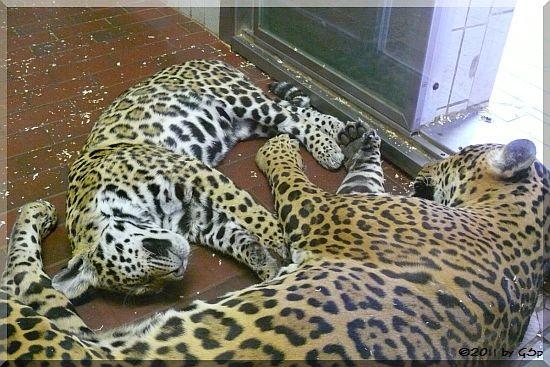Jaguar, Jungtier geb. am 05.09.10