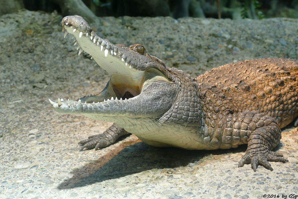 Philippinenkrokodil