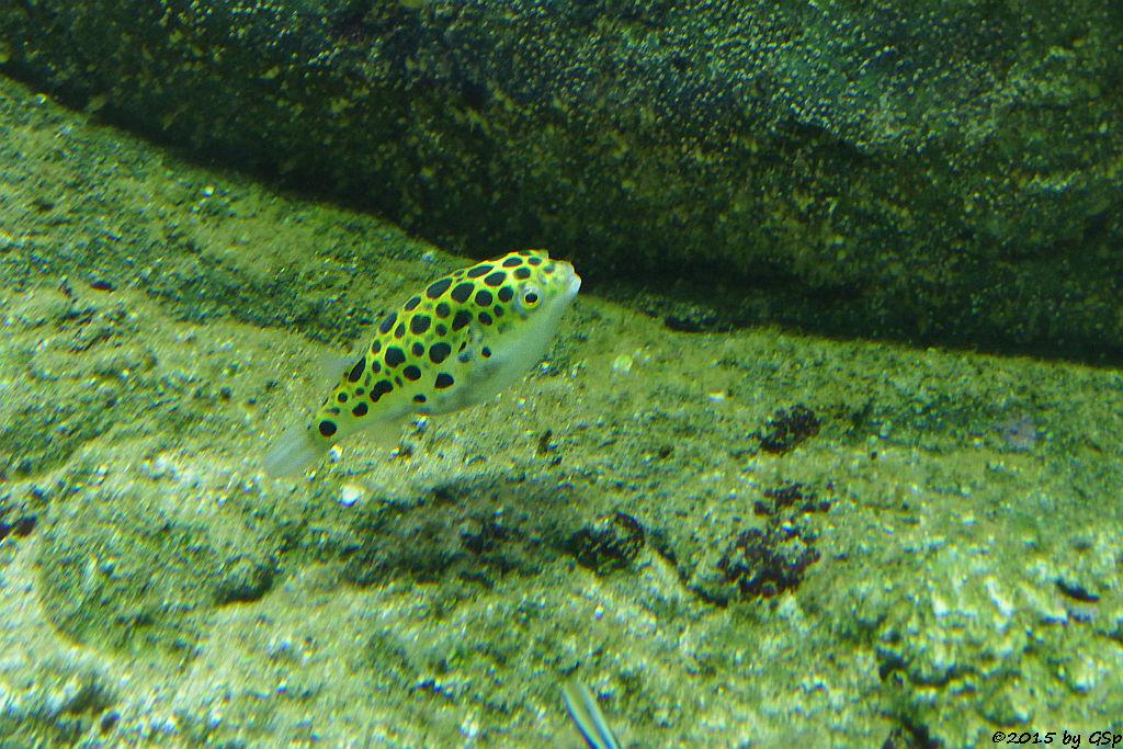 Grüner Kugelfisch