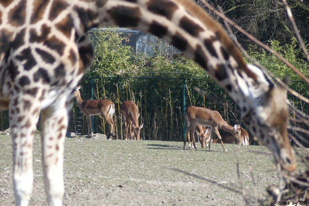 Rothschildgiraffe (Uganda-Giraffe, Baringo-Giraffe), Impala (Schwarzfersenantilope)
