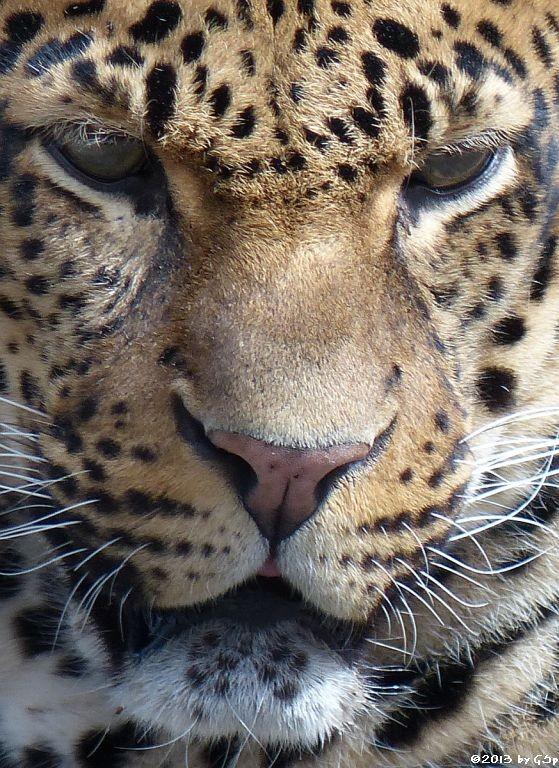 Java-Leopard
