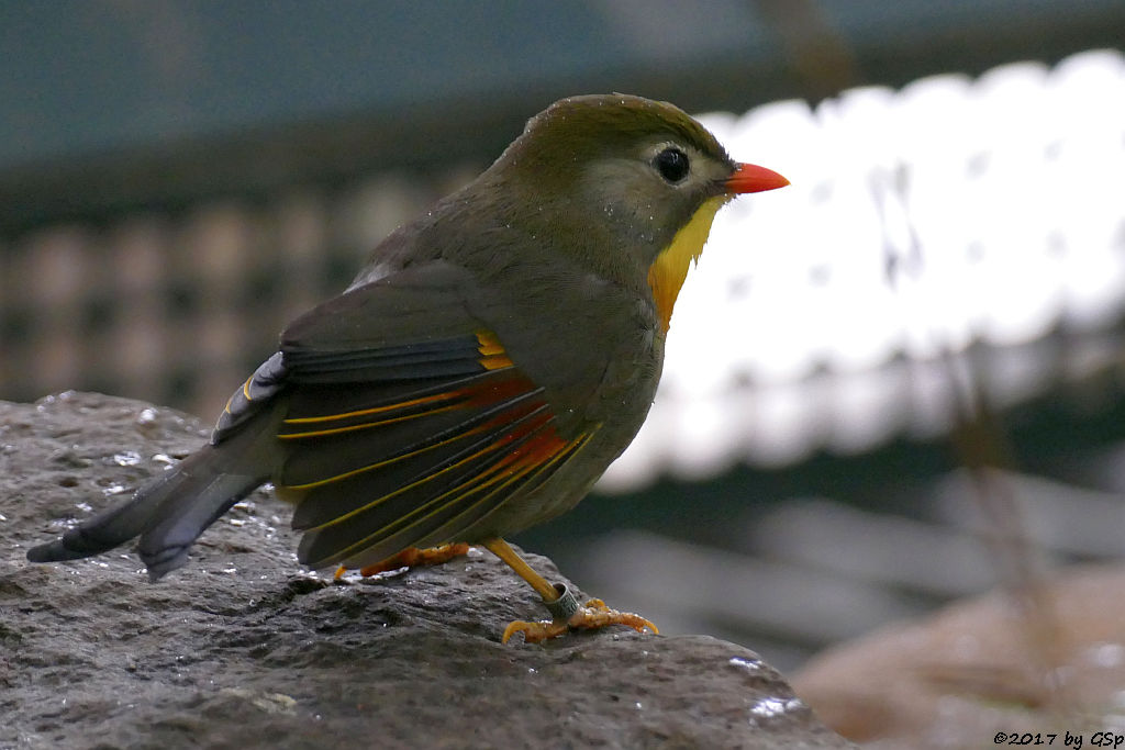 Sonnenvogel (Chinesische Nachtigall)