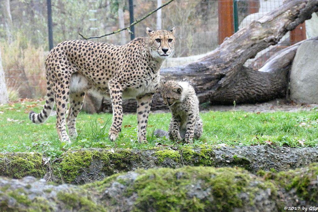 Gepard, Jungtiere geb. am 18.7.17