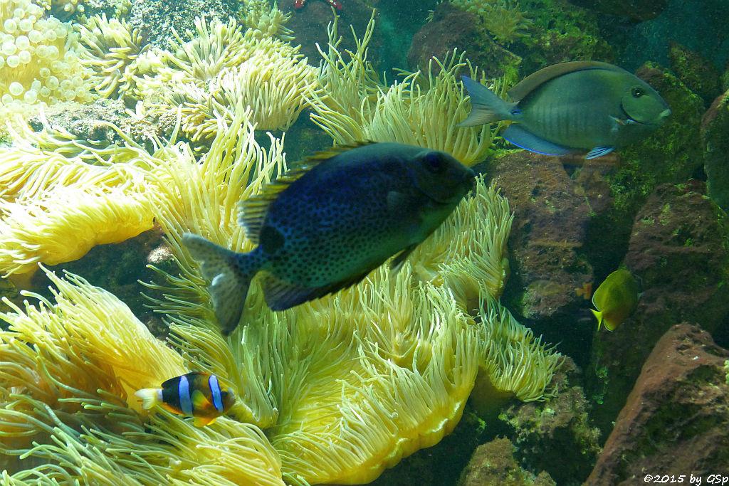 Clarks Anemonenfisch, Gefleckter Kaninchenfisch, Bahia-Doktorfisch