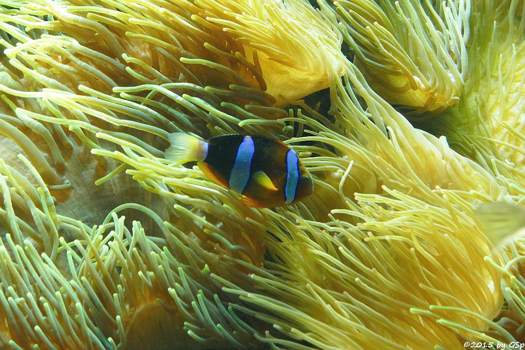Clarks Anemonenfisch (Schwarzer Dreibinden-Anemonenfisch)
