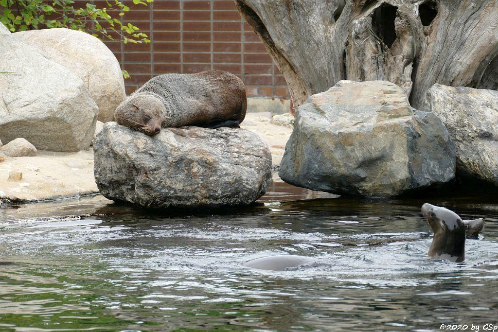 Südafrikanischer Seebär (Zwergseebär, Kap-Seebär) LIPPI, Kalifornischer Seelöwe