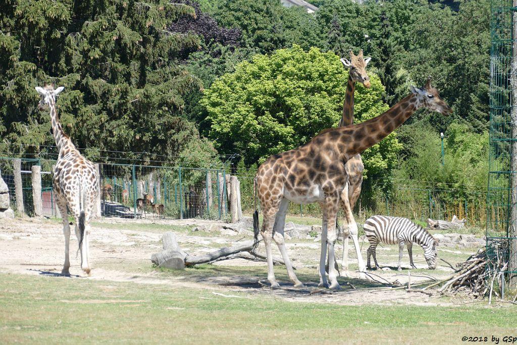 Rothschildgiraffe (Uganda-Giraffe, Baringo-Giraffe), Impala (Schwarzfersenantilope), Böhm-Steppenzebra (Grantzebra)