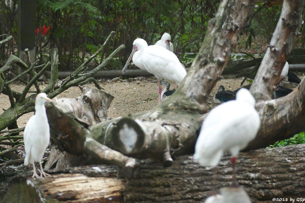 Kuhreiher (Westlicher Kuhreiher), Rotgesichtlöffler (Afrikanischer Löffler, Rosenfußlöffler)