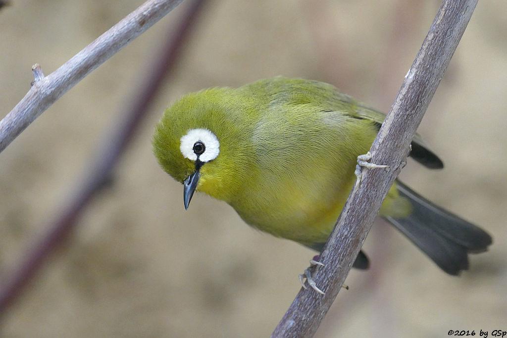 Heuglinbrillenvogel (Bergbrillenvogel)