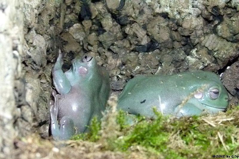 Korallenfinger-Laubfrosch