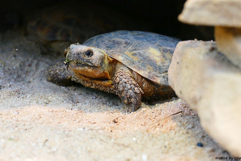 Spaltenschildkröte