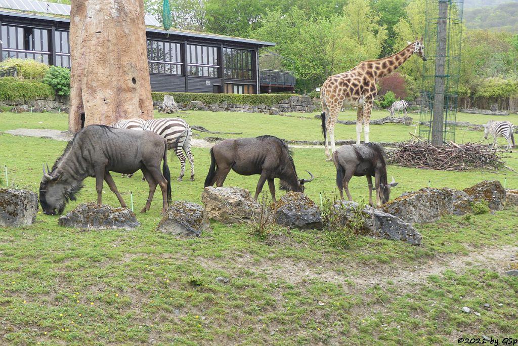 Südliches Streifengnu (Blaues Gnu), Böhm-Steppenzebra (Grant-Zebra), Rothschildgiraffe (Uganda-Giraffe, Baringo-Giraffe)