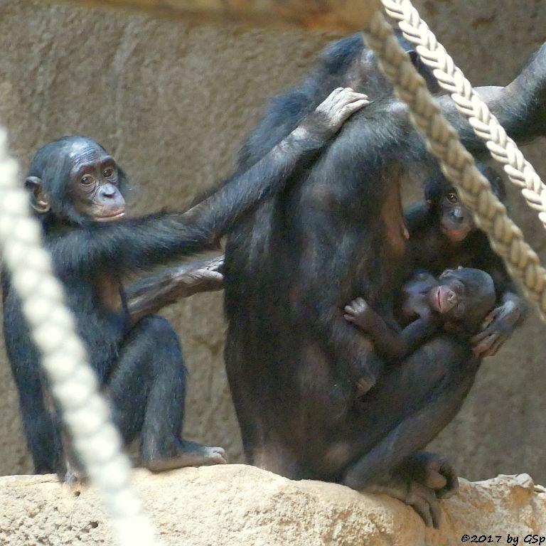 Bonobo LEXI mit Sohn YAROS (4 J.), Sohn TAYOS (10 Mon.) und Ziehkind AMIRA (geb.15.5.17, 8 Tg.)