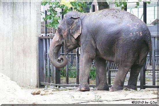 Asiatischer Elefant WIN THIDA