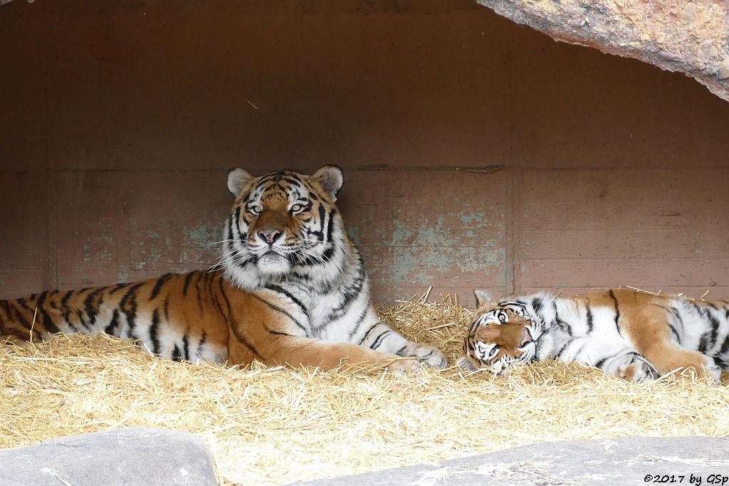 Amurtiger (Sibirischer Tiger, Mandschu-Tiger) JEGOR und AHIMSA