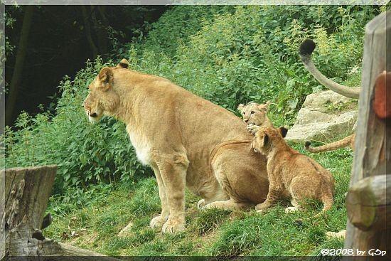 Löwin mit Jungtieren vom 20. und 25. April 2008 - weitere Fotos von den Löwenkindern unter Tierisch kindlich