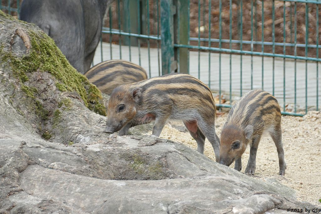 Negros-Pustelschwein (Visayas-Pustelschwein, Visayas Mähnenschwein), geb. 17.7.18