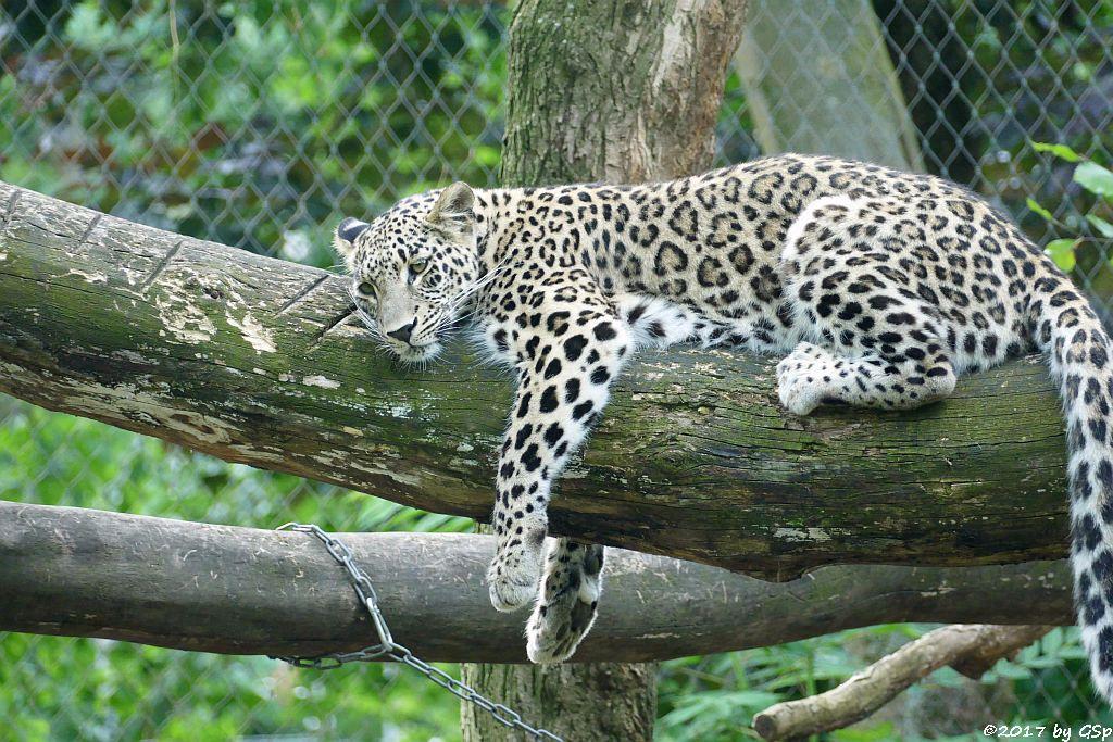 Nordpersischer Leopard (Afghanischer Leopard)