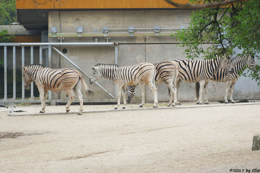 Burchell-Steppenzebra (Damara-Steppenzebra)