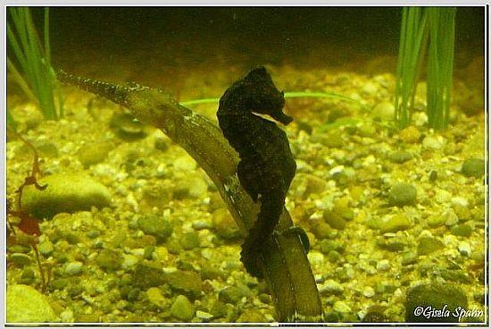 schwarzes Seepferdchen