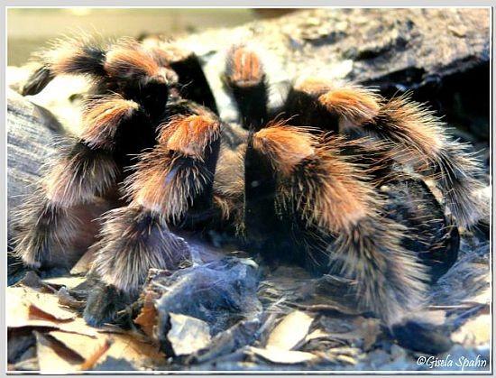 Mexikanische Rotknievogelspinne