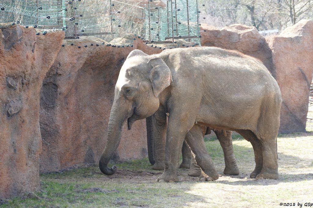 Asiatischer Elefant BIRMA, gest. 5.9.18