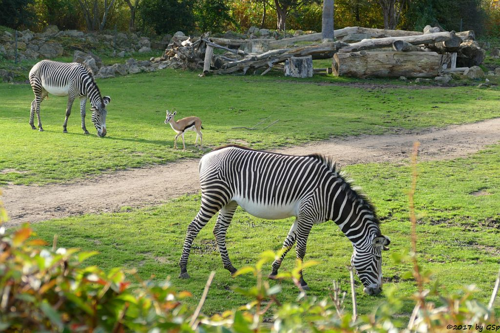 Grévy-Zebra, Thomsongazelle