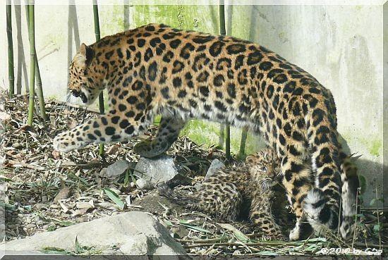 Amurleopard, Jungtier geb. am 10.12.09 (14 Wo alt)