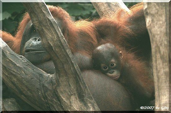 Borneo-Orang-Utan Ito, geb. 26.12.06