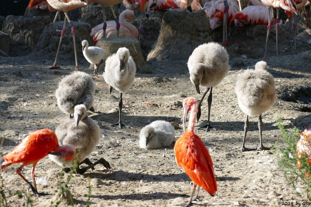 Chileflamingo (Chilenischer Flamingo), Roter Sichler (Scharlachsichler, Rotibis)