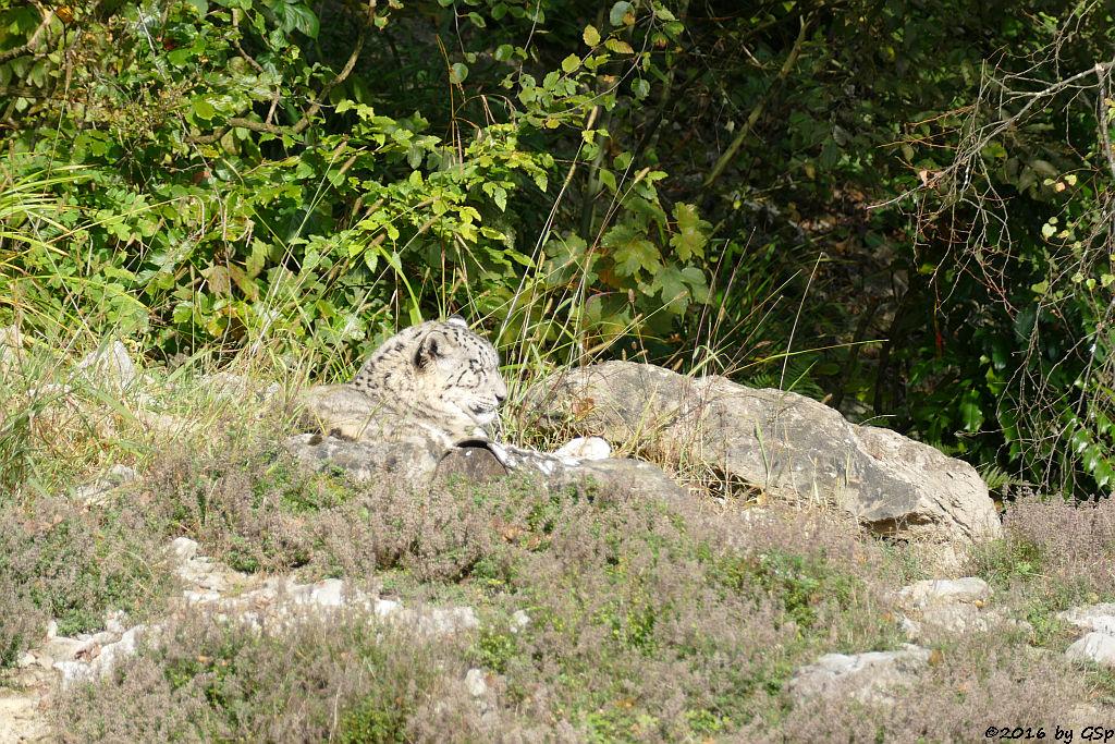 Schneeleopard (Irbis)