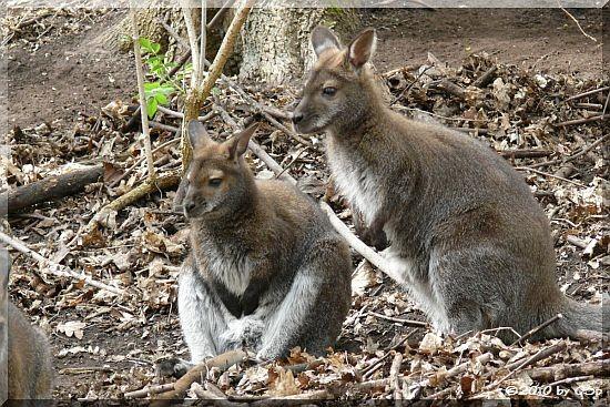 Bennett-Känguru