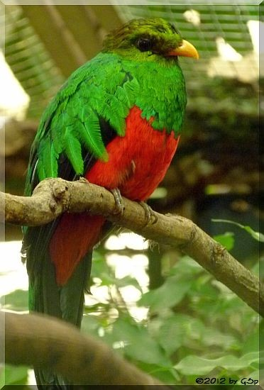 Goldkopf Quetzal (Goldkopftrogon)