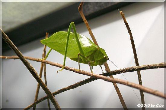 Kuba-Blattschrecke