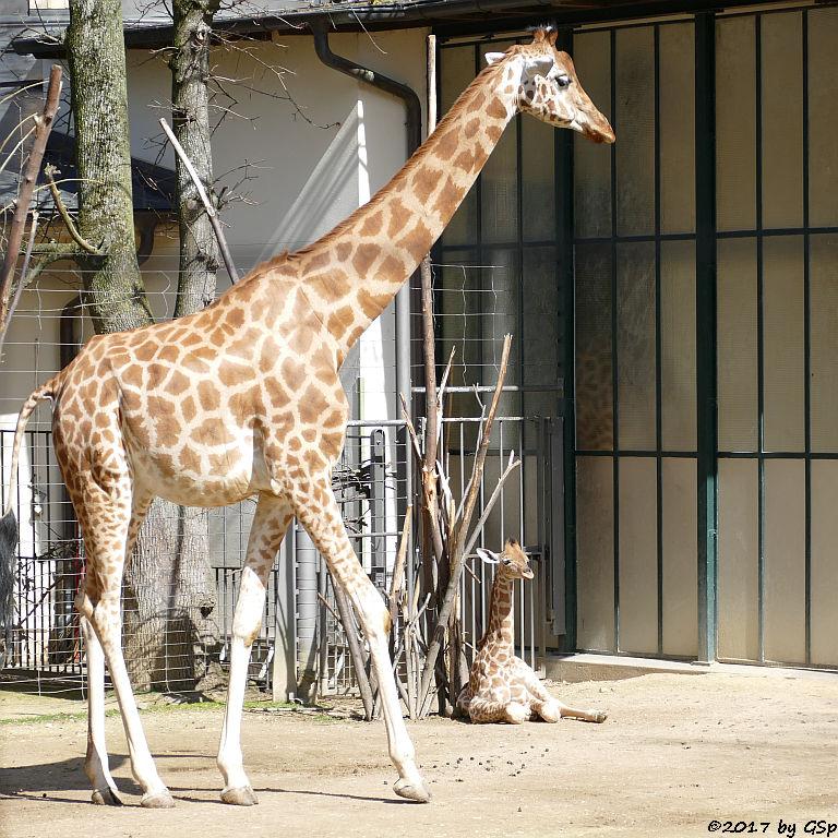 Kardofan-Giraffe mit ONONG, geb. am 28.02.17 (3 12 Wo.alt)