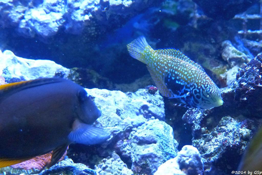 Tomini-Borstenzahndoktorfisch, Diamant-Lippfisch