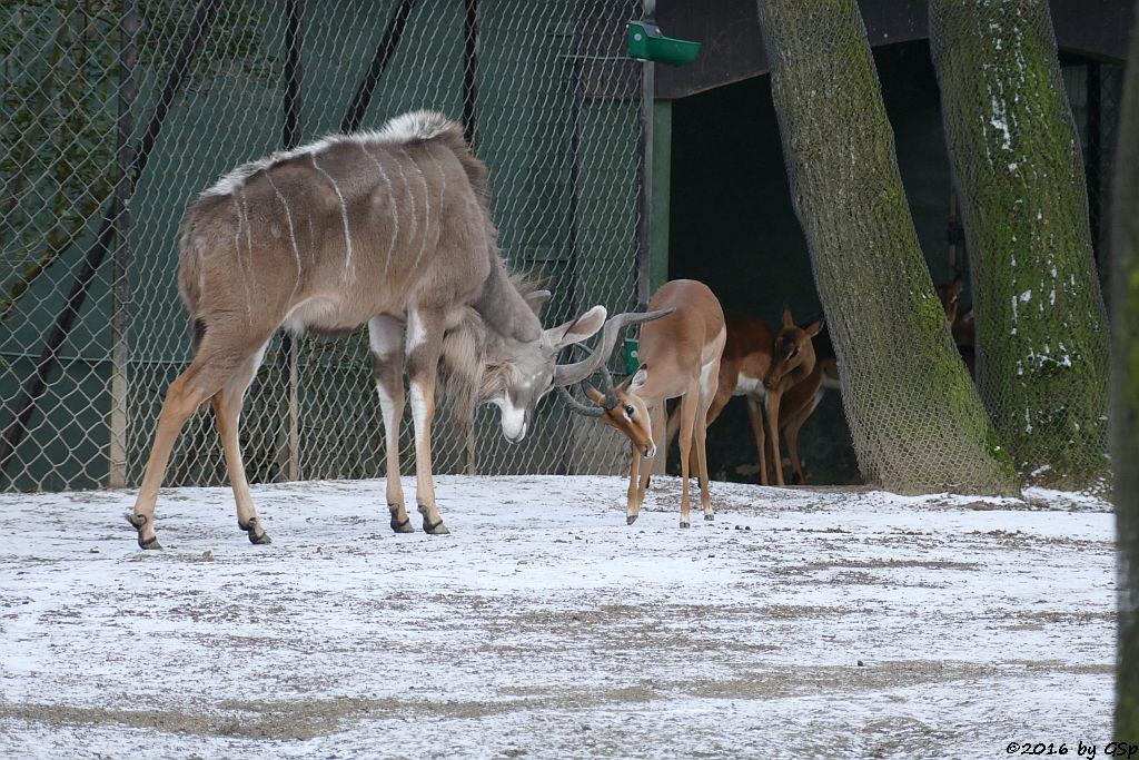 Großer Kudu, Impala