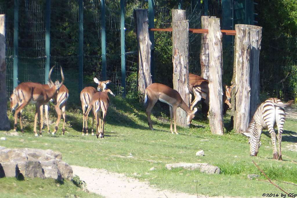 Impala (Schwarzfersenantilope), Böhm-Steppenzebra (Grantzebra)