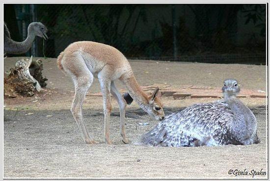 Vikunja und Darwin-Nandu