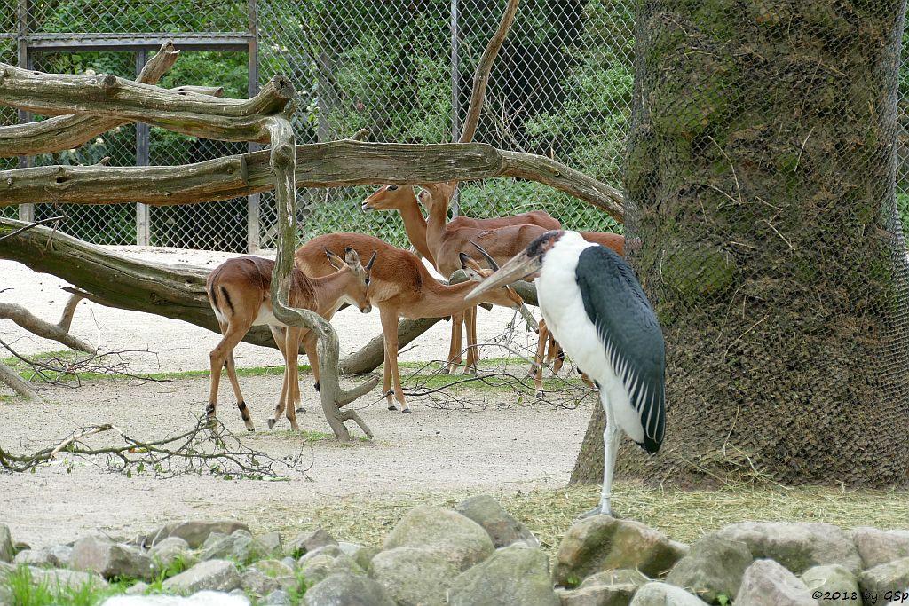 Afrikanischer Marabu, Großer Kudu, Gewöhnliche Impala (Schwarzfersenantilope)