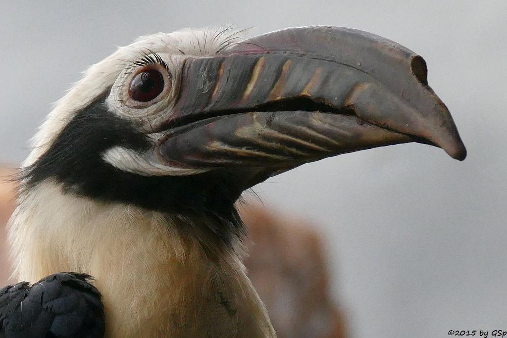 Visayas-Tariktik-Hornvogel