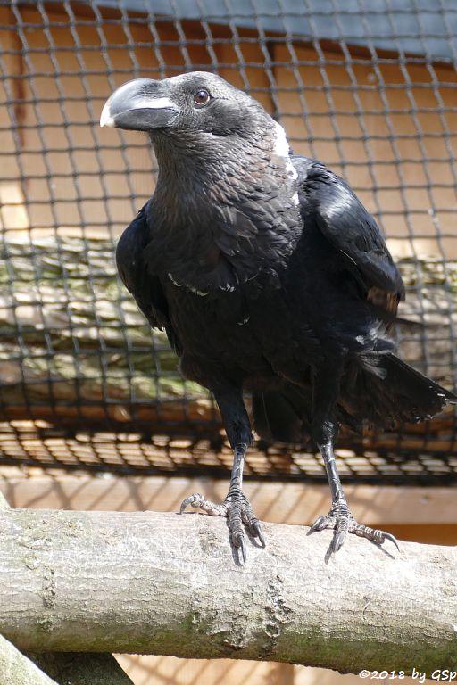 Geierrabe (Weißhalsrabe, Weißnackenrabe)