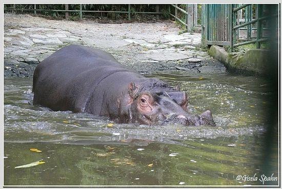 Flusspferd MAX