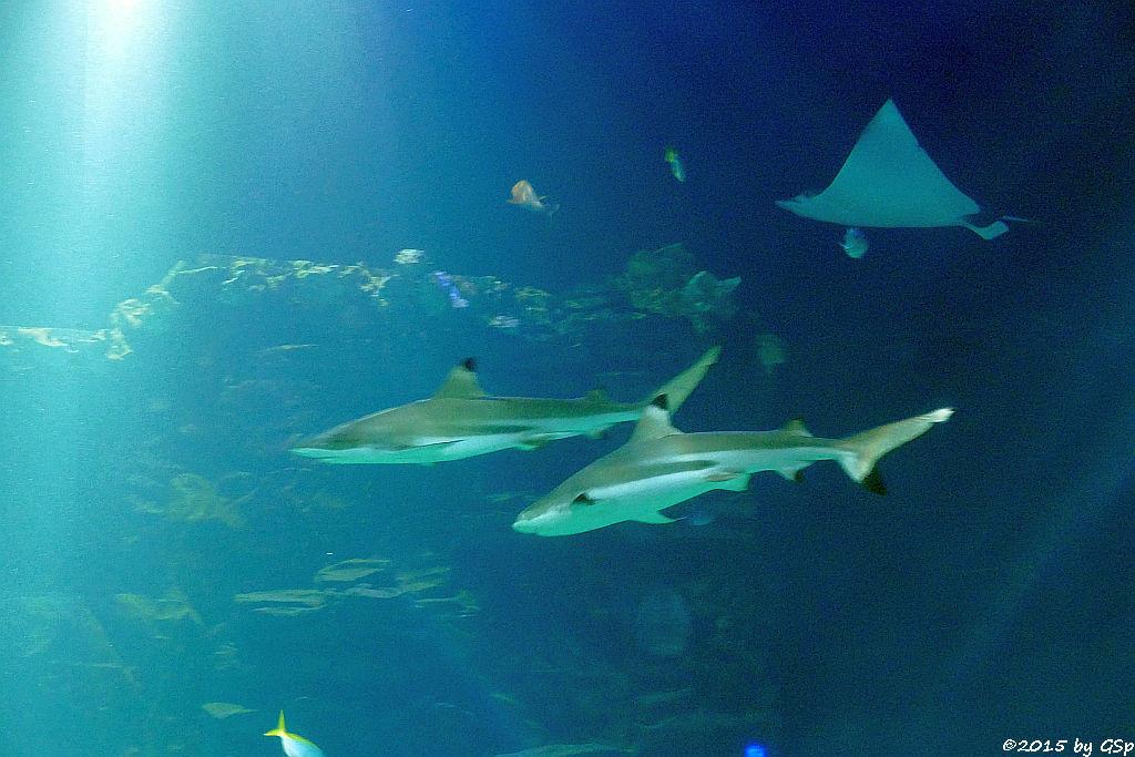 Schwarzspitzen-Riffhai, Gefleckter Adlerrochen
