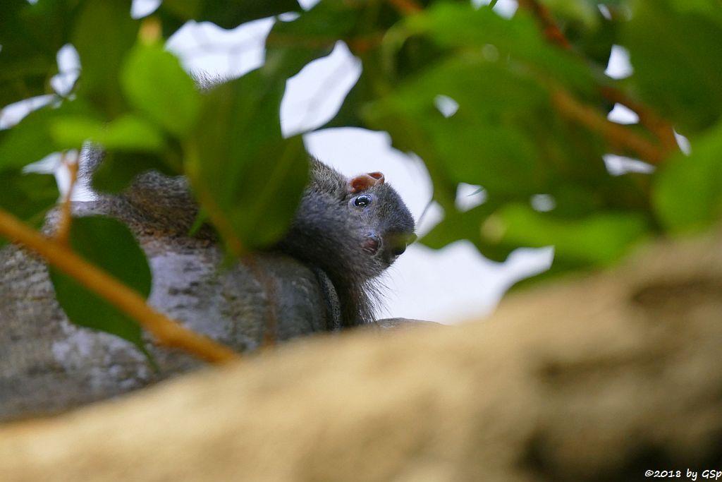 Nördliches Spitzhörnchen (Belanger-Tupaja)
